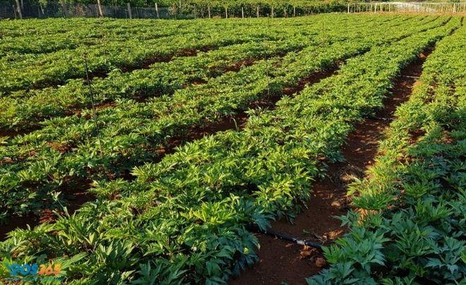 Làm giàu ở nông thôn nhờ việc trồng cây hiếm